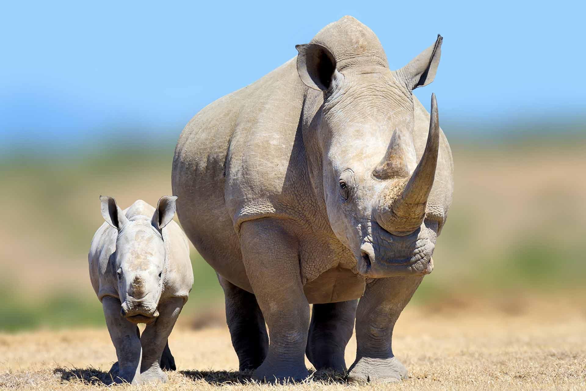 Rhino And Carf On African Safari
